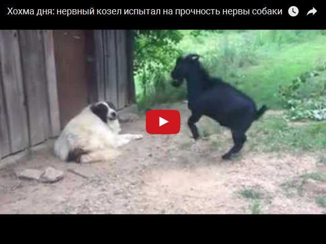 Нервный козел и собака - видео дня