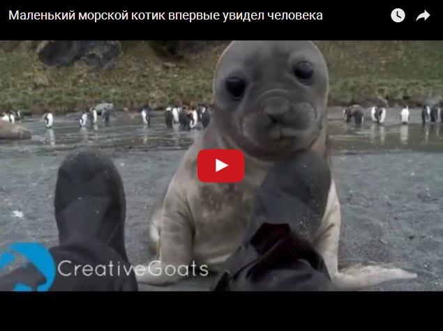 Морской котик впервые увидел человека