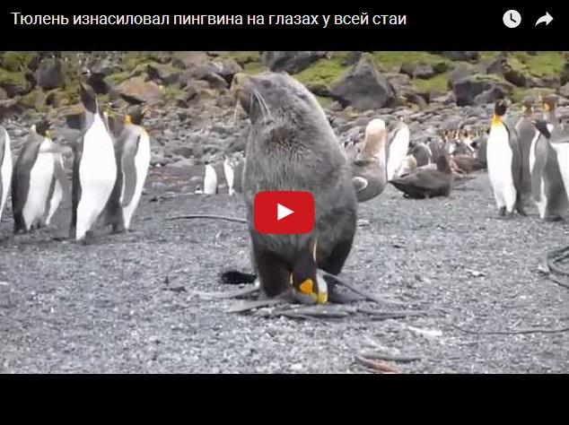 Изнасилование пингвина тюленем на глазах у всей стаи