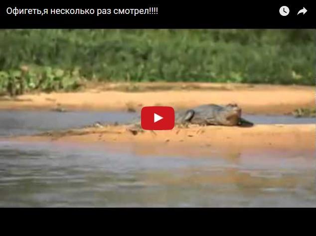 Жесть - нападение леопарда на крокодила