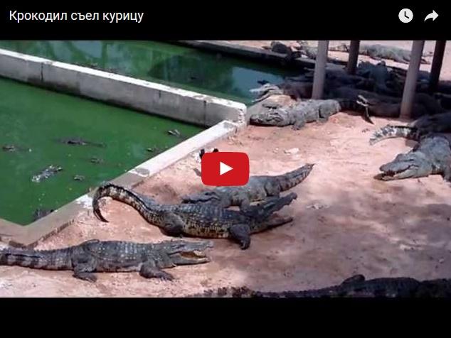 Нападение крокодила на курицу