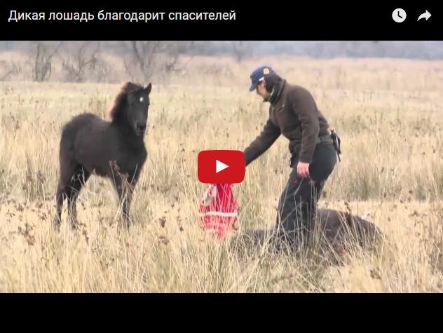 Дикая лошадь поблагодарила своих спасителей