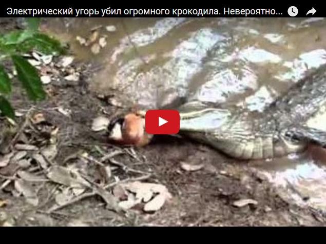 Электрический угорь против крокодила