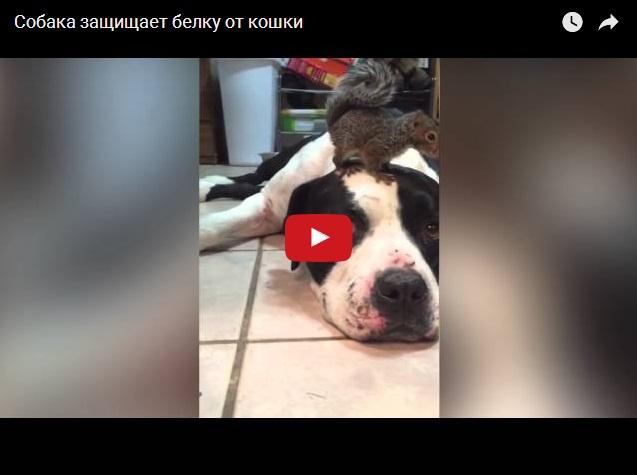 Собака защищает бельчонка от кота