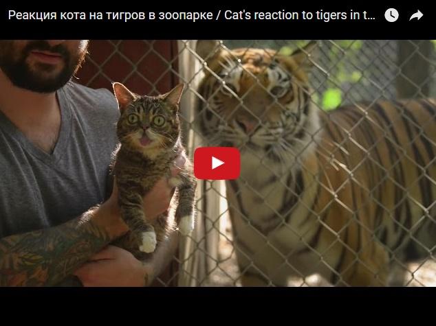 Прикольная реакция кота на тигров в зоопарке