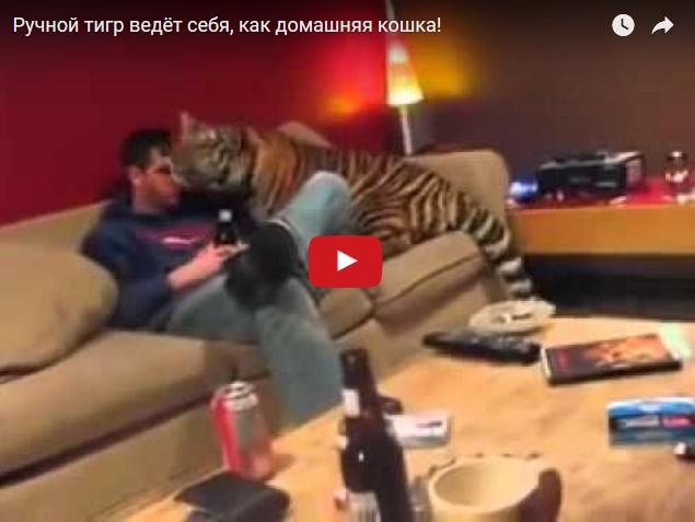 Тот момент, когда у тебя есть ручной домашний тигр