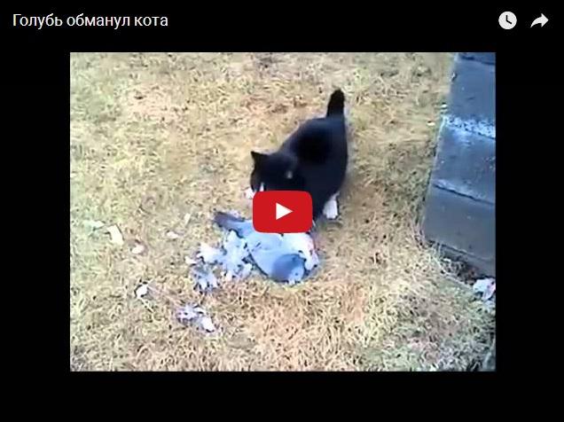 Голубь обманул кота