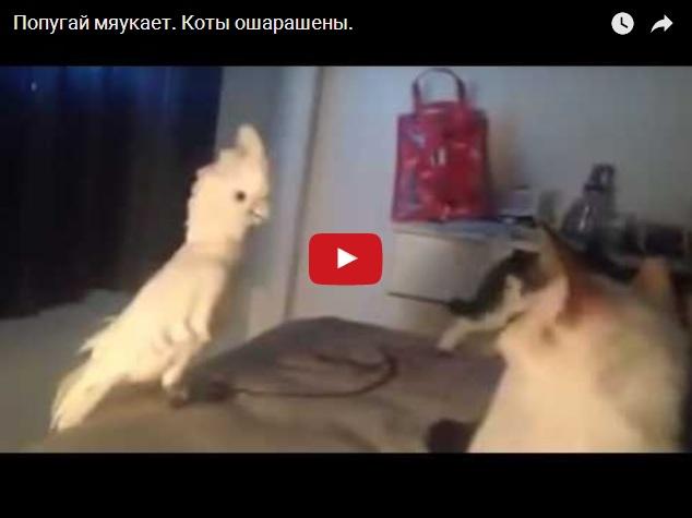 Видео про мяукающего попугая - коты в шоке