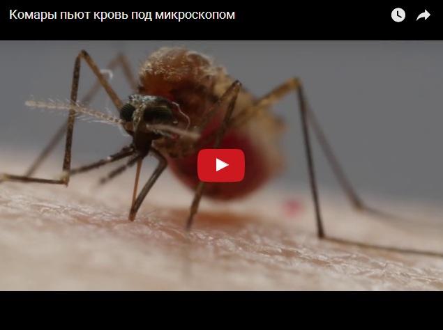 Комары пьют кровь под микроскопом