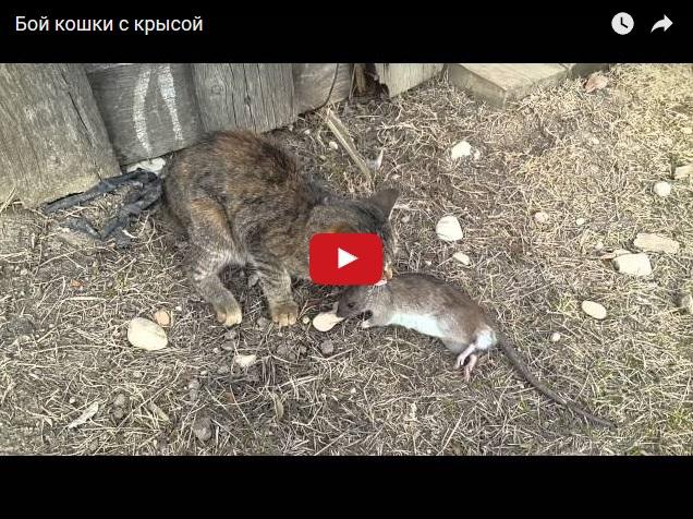 Кошка против крысы - кто кого?