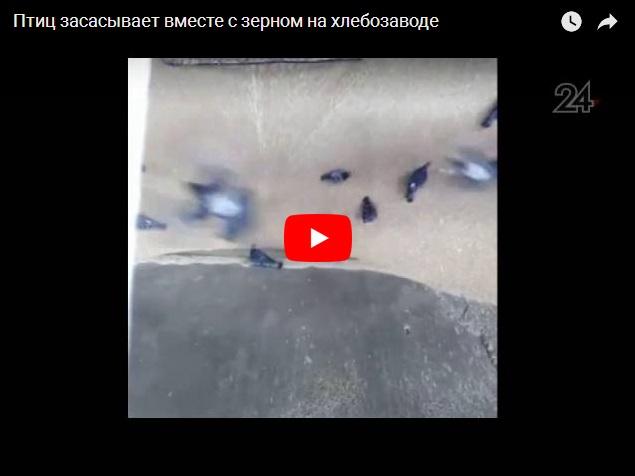 Птиц засасывает вместе с зерном на хлебозаводе - видео дня