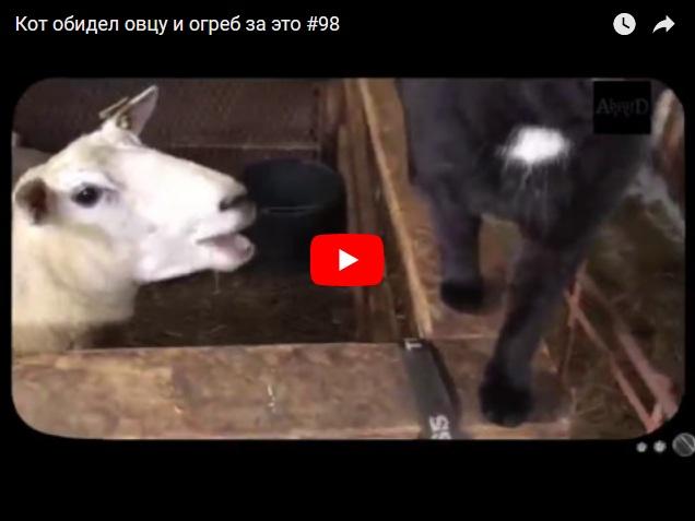 Кот против овцы - кто кого?