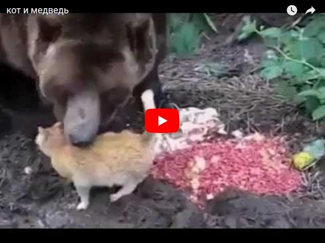 Про дружбу кота и медведя - прикольное видео про животных