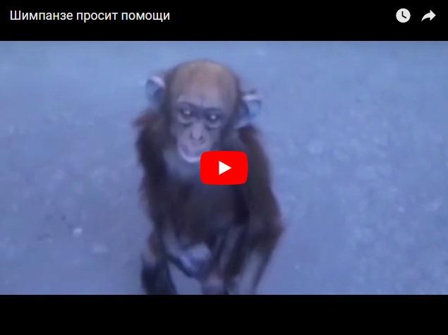 Шимпанзе просит помощи, после того как ее мать убили браконьеры