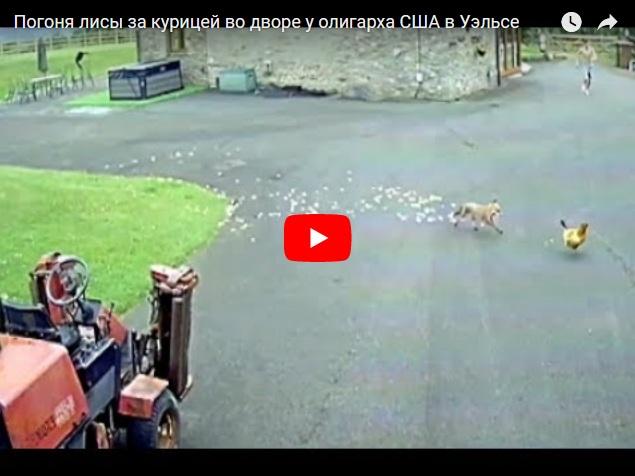 Погоня лисы за курицей, снятая на камеры видеонаблюдения