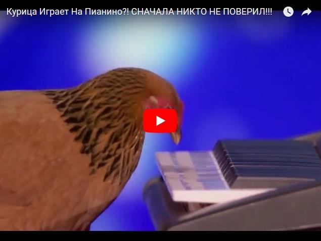 Курица играет на пианино - сначала никто не поверил