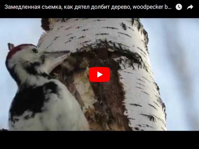 Замедленная съемка, как дятел долбит дерево