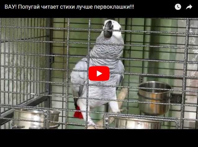 Попугай читает стихи - прикольное видео