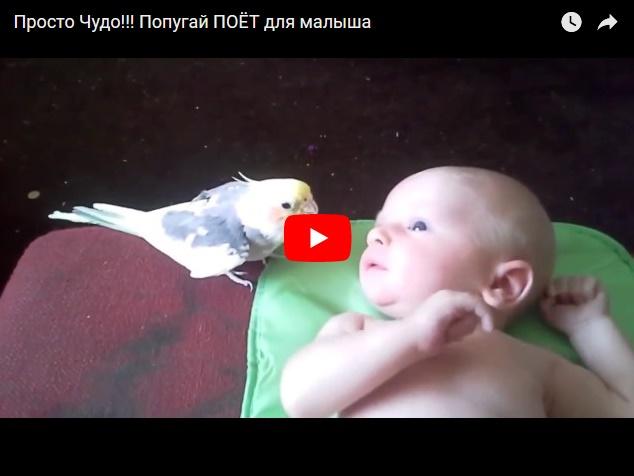 Попугай поет колыбельную малышу - видео дня