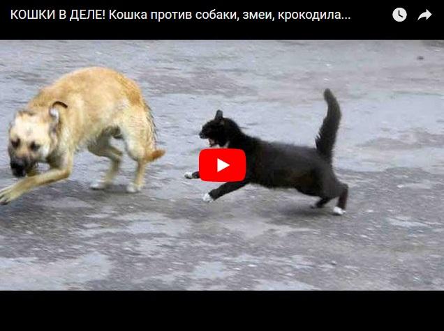 Видео про самых бесстрашных котов