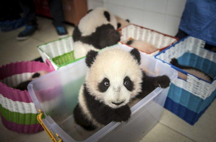 Панды - самые милые зверушки на свете