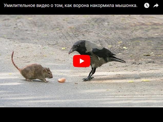 Ворона кормит мышонка - умилительное видео