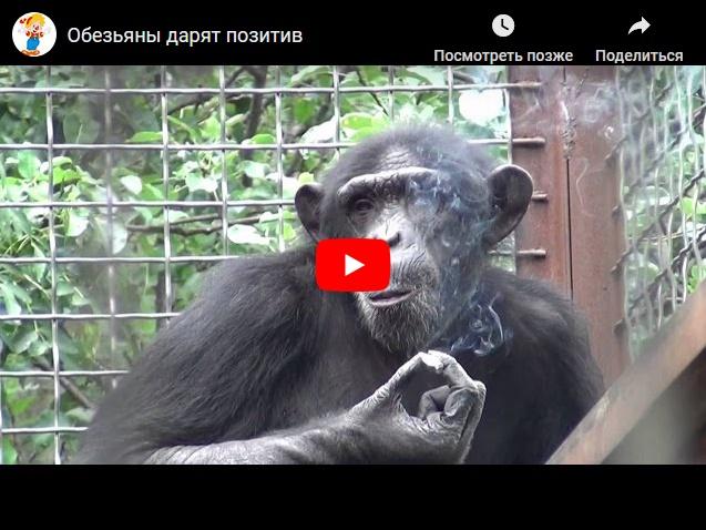 Смешные обезьяны - подборка видео приколов