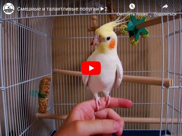 Смешные и талантливые попугаи - прикольное видео